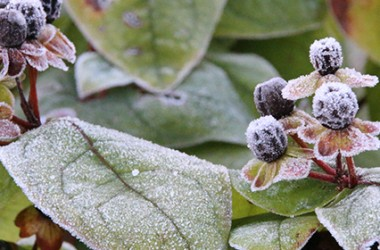 winterplant